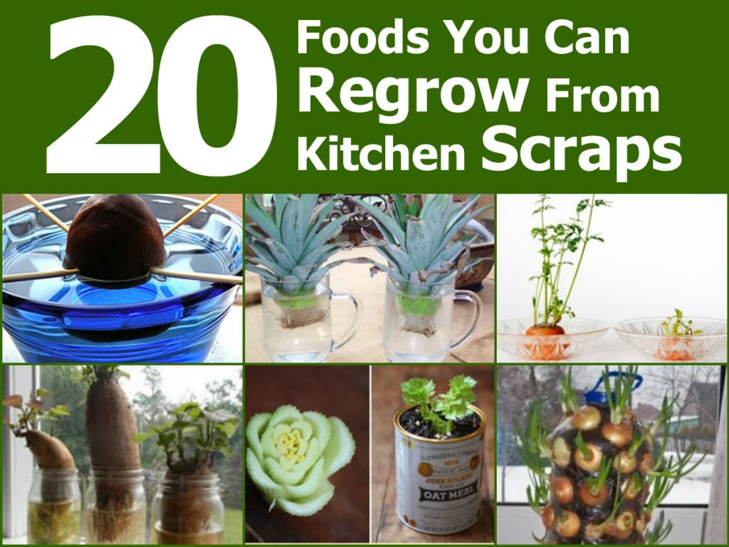 regrow-from-kitchen-scraps1